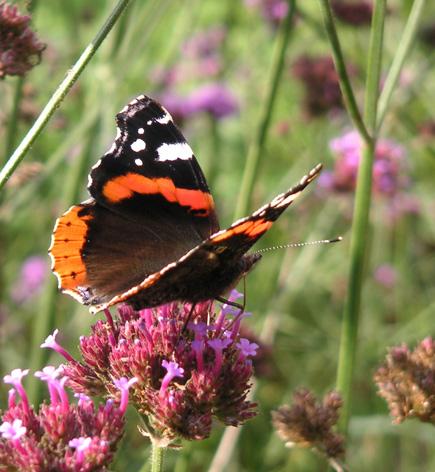 De Atalanta Vlinder